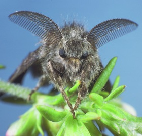 Western tussock moth male