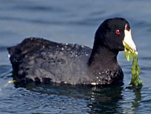 American coot feeding on sea lettuce