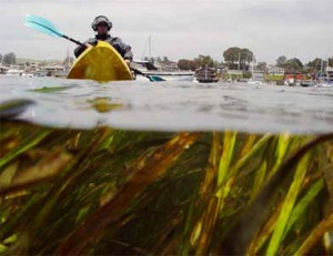 Eelgrass in Lower Bay